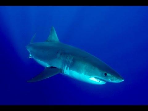 Great White Shark Migration Patterns