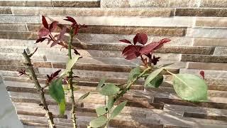 मैंने अपने मरते हुए गुलाब के पौधे को कैसे बचाया,how I save dead rose plant,anvesha,s creativity