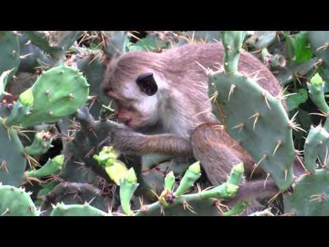 Toque macaque (Macaca sinica) (E)