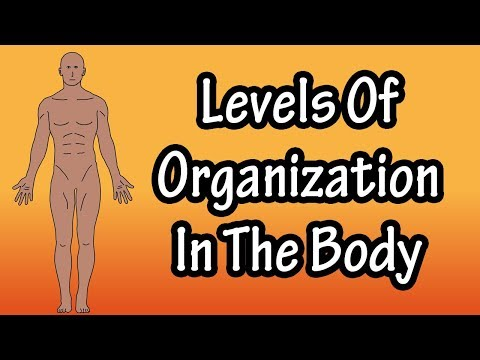 What Are The Levels Of Organization In The Body - Organization Of The Human Body