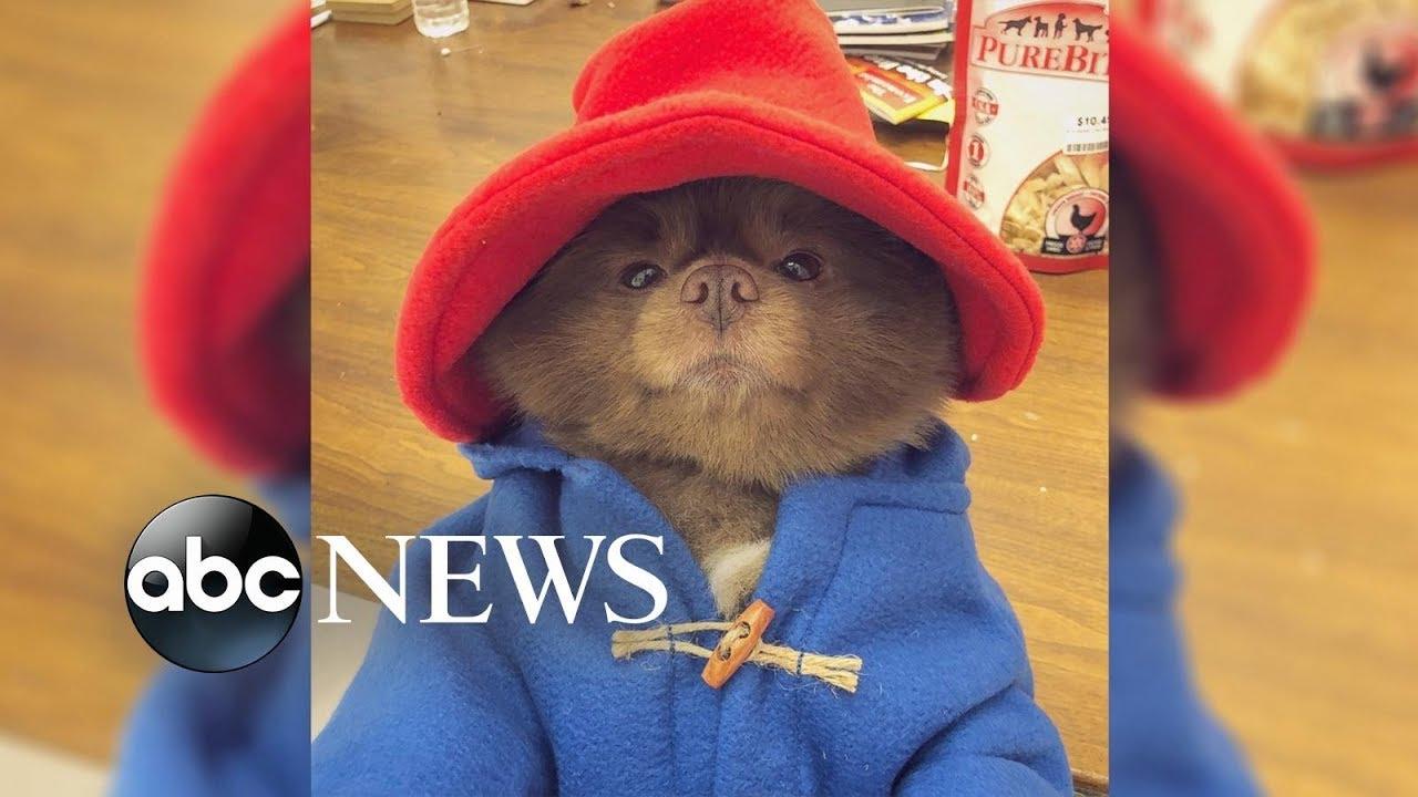 Adorable Pup breaks the internet with Paddington Bear costume