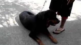 """Manalo K9's Rottweiler Stud """"atilla"""" (vintage Video)"""