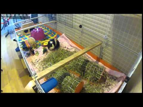 Guinea Pigs Live Stream