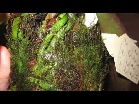 Каллы: выращивание в горшке