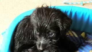 Первое купание щенка.
