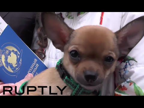 Putin sends chihuahua puppy to displaced Donetsk girl in in Sevastopol