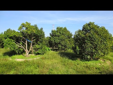 Visit Kampot Durian Farm 10 | Khmer News Today | Travel Around Cambodia Beautiful Landscape 2015