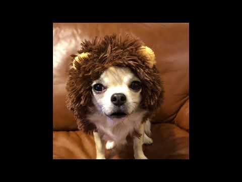 チワワの銀さん ライオンキングになる おしゃべりペット
