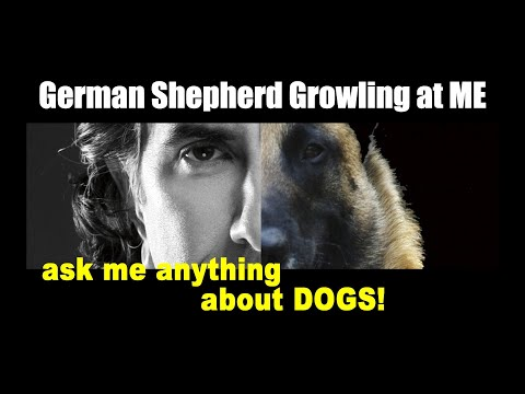 Intact German Shepherd is GROWLING at ME - ask me anything - Dog Training Video