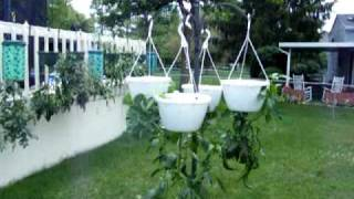 Topsy Turvy, Garden Containers, Upside Down Pots, Growing Tomatoes, Peppers & Herbs Update 7
