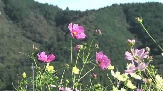 本巣市 「樽見鉄道織部駅」 ~コスモス畑~