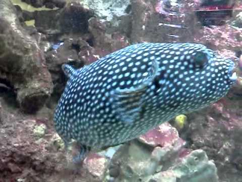 Big Spotted Puffer fish bowed acrylic marine tank - YouTube