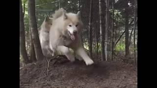Sled Dogs Summer Dayz