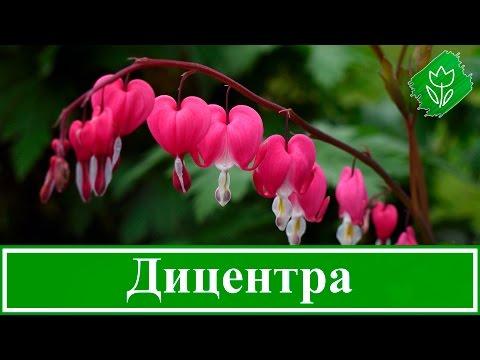 🌺 Цветок дицентра – посадка и уход: выращивание дицентры из семян 🌱; виды и сорта дицентры