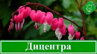 видео Астильба: размножение, выращивание из семян, уход осенью, подготовка к зиме