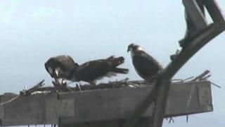 Ospreys Along the Wildlife Drive at Blackwater NWR