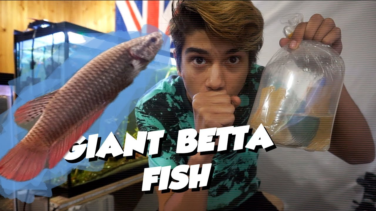 UNBOXING MY GIANT BETTA FISH!!