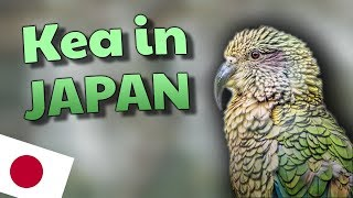 KEA BIRD || New Zealand's PRIMO Parrot in Japan