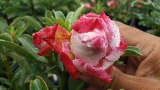 Rosa Do Deserto – Como Eliminar Ácaros