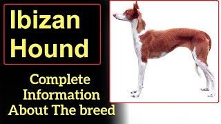 Ibizan Hound. Pros and Cons, Price, How to choose, Facts, Care, History