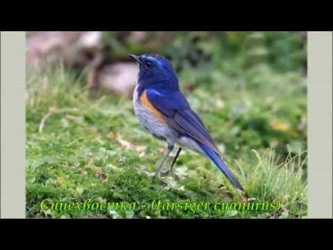 Голоса птиц уссурийской тайги. The song of birds