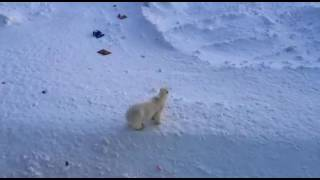 видео: Медведи на улицах России Архипелаг Новая Земля посёлок Белушья губа ул. Советская 17 апреля 2017г.