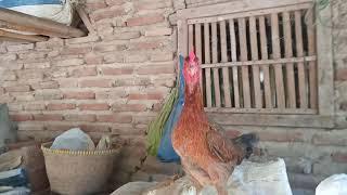 Download Suara ayam betina berkokok