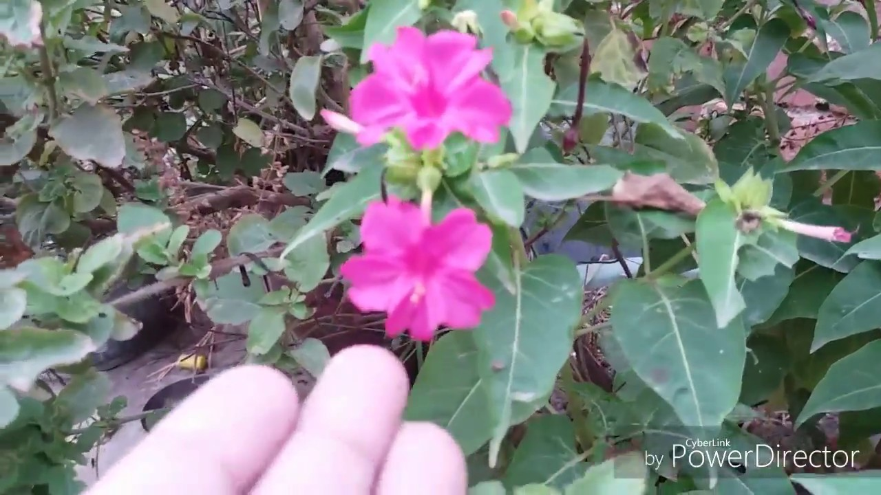 69 About 4 O Clock Plant Its Care N Propagation Youtube