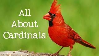 All About Cardinals Backyard Bird Series - FreeSchool