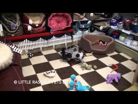 Little Rascals Uk breeders New litter of Cocker Spaniel pups - Puppies for Sale 2015