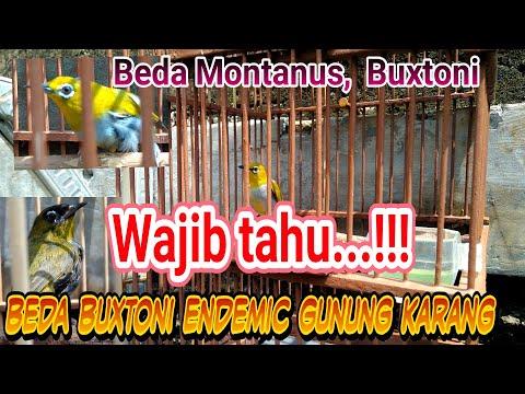 Cara Membedakan Pleci Montanus,  Buxtoni,  Black Capped,  Wallacia Dan Buxtoni Gunung Karang
