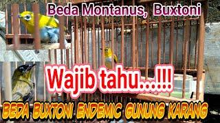 Cara membedakan Pleci Montanus Buxtoni Black Capped Wallacia dan Buxtoni Gunung Karang