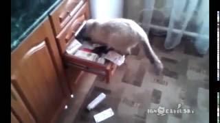 Кот ищет валерьянку /Cat looking for Catnip
