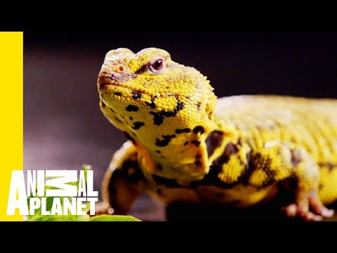 This Yellow Lizard is Called The Uromastyx   Scaled