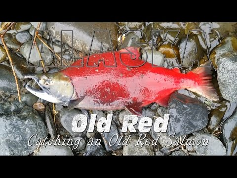Catching Old Red  Sockeye Salmon