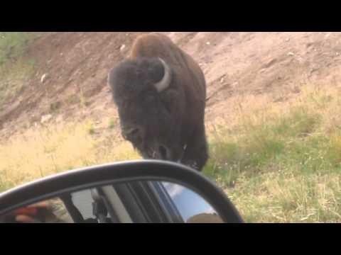 Fighting Bison - Fighting Buffalo -- Yellowstone 2015