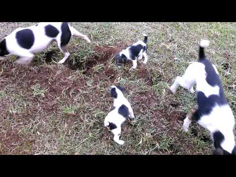 Jack Russell puppies on a mole hunt