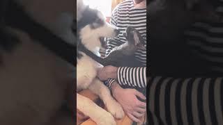 Хаски vs Корниш Рекс. Кот против собаки.
