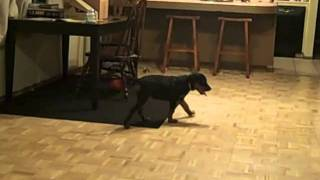 Yenko The Rottweiler Growing Up
