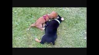 Dog Fighting - Cici Vs Pasha