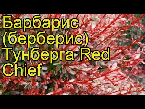 Барбарис тунберга Ред Чиф. Краткий обзор, описание характеристик berberis thunbergii Red Chief