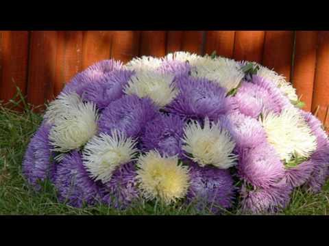 Астры - секрет раннего цветения