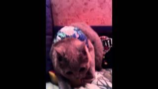 британская кошка  5 месяцев