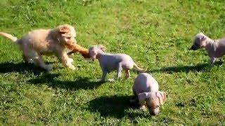 Малыши Мексиканская голая собака