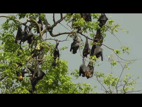 Flying foxes_ Sri Lanka