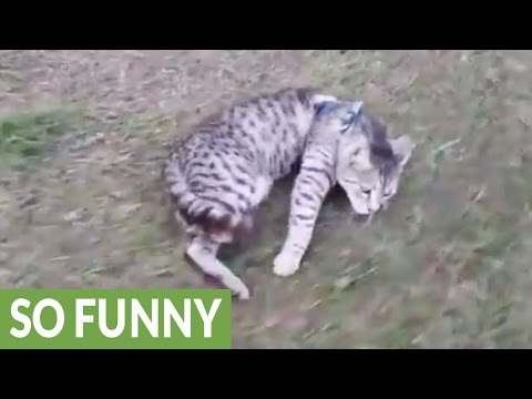 Cat refuses to walk, gets dragged on leash