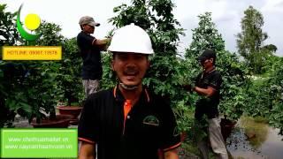 Hướng dẫn tạo dáng, lặt lá và phòng bệnh cho mai vàng