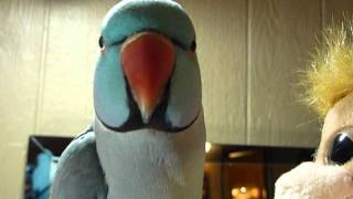 3 yr old Indian Ringneck Parrot Talking clearly to his new m...