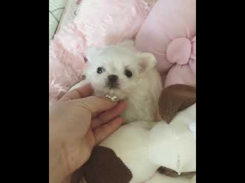 Maltese Dog Breeds [  Toy 🔥💞  ]