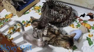бенгальская кошка, бенгальские котята,мамочка золотая